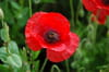 Coquelicot