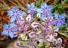 Vertus médicinales plante diurétique